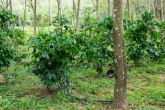Coffee plantation in rubber tree plantation farm. In south thailand Stock Image