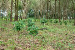 Coffee plantation in rubber tree plantation farm. In south thailand Royalty Free Stock Photo