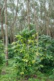 Coffee plantation in rubber tree plantation farm. In south thailand Stock Photo