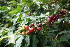 Coffee plantation in the rural town of Carmo de Minas Brazil Stock Photos