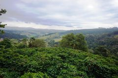Coffee plantation in the rural town of Carmo de Minas Brazil. Photo taken in a coffee plantation in the south of Minas Gerais state. In the city of Carmo de Royalty Free Stock Photos