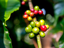 Coffee plantation in South India Royalty Free Stock Photos