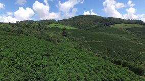 Coffee plantation in sunny day in Brazil. Coffee plant. stock footage