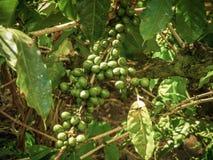 Coffee plantation in tanzania africa near kilimanjaro. In summer Royalty Free Stock Image