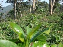 Coffee Plantation Stock Photography