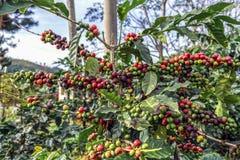 Coffee plantation in Vietnam. Dalat Stock Image