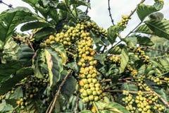 Coffee plantation in Vietnam. Dalat Stock Photo