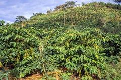 Coffee plantation in Vietnam. Dalat Stock Images