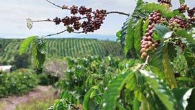 Coffee Plantation in Vietnam stock video footage
