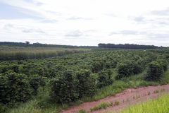 Coffee plantation Stock Images