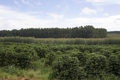 Coffee plantation Stock Photos