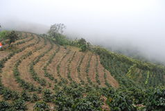 Coffee plantations in costa rica, central valley. Most of coffee plantations are found in flat surfaces but this one is located in a mountain at central valley Royalty Free Stock Photos