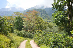 Coffee plantations in the highlands of western Honduras by the Santa Barbara National Park Stock Images