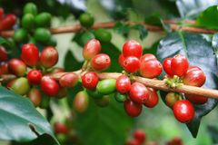 COFFEE PLANTES Stock Image