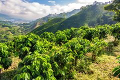 Coffee Plants and Hills. Hills covered in coffee plants near Manizales, Colombia stock images