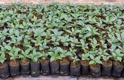 Coffee plants in a nursery Stock Image