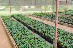 Coffee plants in a nursery Stock Photography