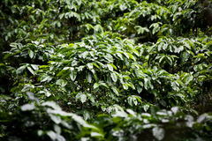 Coffee plants on plantation in Costa Rica Stock Images