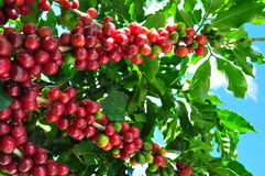 Coffee production Royalty Free Stock Photography
