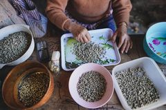 Coffee Raw coffee beans Dried coffee People are sorting coffee beans.  royalty free stock photo