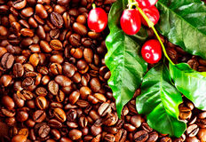 Coffee. Real coffee plant on roasted coffee background Royalty Free Stock Photos