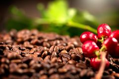Coffee. Real coffee plant on roasted coffee background stock photo