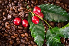 Coffee. Real coffee plant on roasted coffee background stock photos