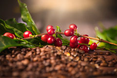 Coffee. Real coffee plant on roasted coffee beans royalty free stock images