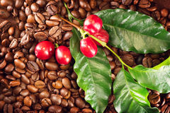 Coffee. Real coffee plant on roasted coffee beans. Coffee. Real coffee plant on roasted coffee background Royalty Free Stock Photography