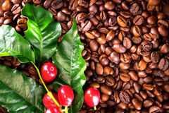Coffee. Real coffee plant on roasted coffee beans background Royalty Free Stock Photo