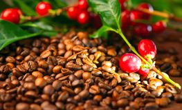 Coffee. Real coffee plant on roasted coffee beans royalty free stock photos