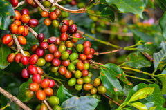 Coffee - red fruits still on plant. Royalty Free Stock Photography
