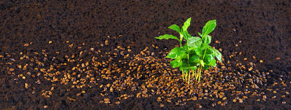 Coffee sapling Royalty Free Stock Image