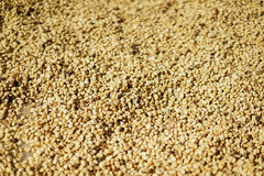 Coffee seed background texture. Before roast Stock Image
