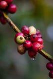 Coffee seed on the tree. Arabica coffee berries getting ripe on its tree in farm Stock Image