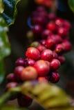 Coffee seed on the tree. Arabica coffee berries getting ripe on its tree in farm Stock Photo