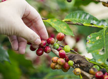 Coffee seed on the tree with hand Stock Photos