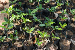 Coffee seedlings. Arabica coffee seedlings with group Stock Image