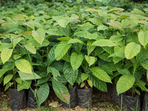 Coffee seedlings plant in a nursery. Stock Image