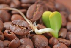 Coffee seeds royalty free stock photo