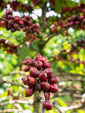 Coffee seeds or beans on the plant Stock Photography