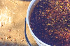 The coffee seeds beans are then thoroughly washed. The skin and pulp are removed by hand for each individual coffee cherry and only the seeds are kept. These Stock Image