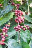 Coffee seeds on a coffee tree Royalty Free Stock Photography