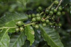 Coffee seeds Stock Image