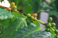 Coffee Plant. Arabian coffee plant with green and yellow seeds Royalty Free Stock Photography