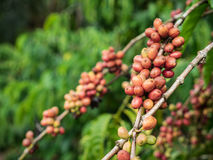 Coffee seeds in a plantation. Royalty Free Stock Photos