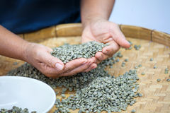 Coffee seeds. Selecting bad coffee seeds from group by hands Royalty Free Stock Images