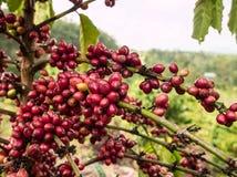 Coffee seeds on tree Royalty Free Stock Image