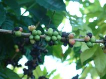 Coffee time. Coffee beans growing on Hawaii Big Island Royalty Free Stock Images
