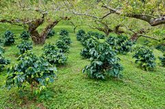 Coffee tree. Royalty Free Stock Photography